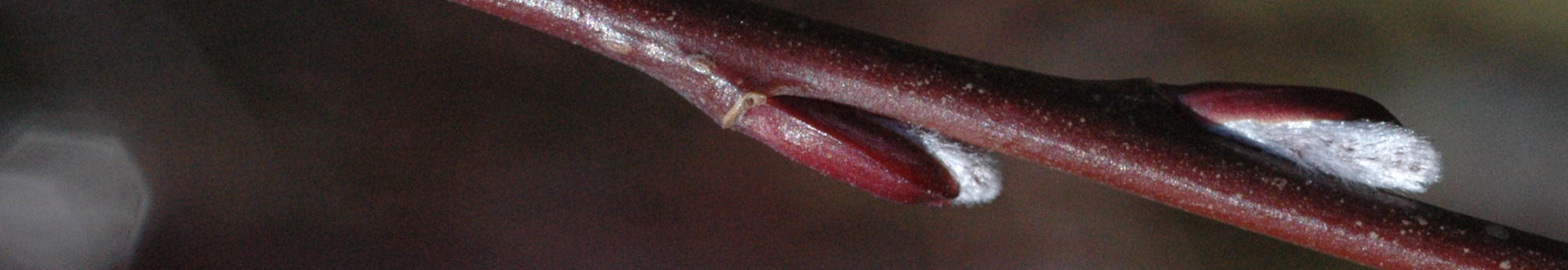 head_salix_purpurea_pendula