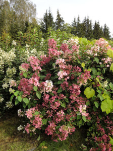 hydrangea_early_sensation_artikkeli